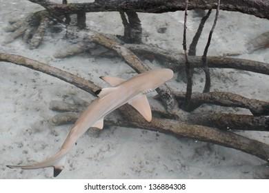 Black-tip reef shark in the mangroves.