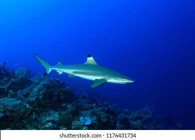 Blacktip Reef Shark on a reef with blue water in Indonesia