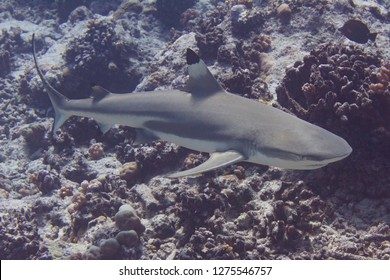 Blacktip Reef Shark on Coral Reef off Bora Bora, French Polynesia