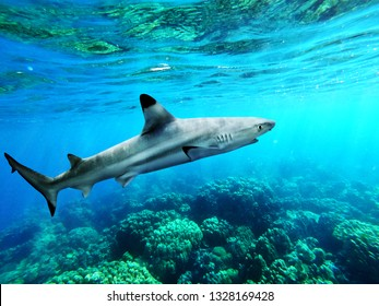 Blacktip reef shark swiming in blue sea with light rays underwater