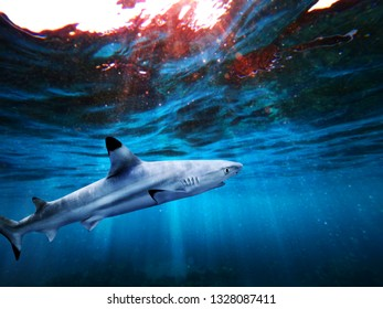 Blacktip reef shark swiming in deep blue sea with light rays underwater