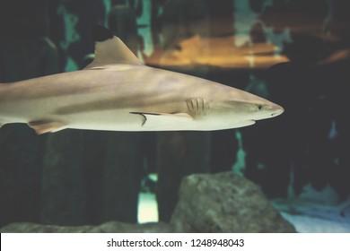 Blacktip Reef shark swimming in big tropical aquarium