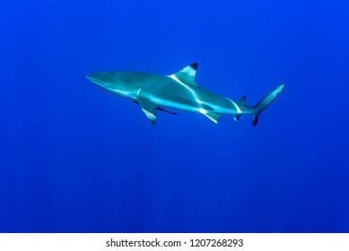 Blacktip reef shark swimming in the blue ocean. The ripple pattern on sharks' back is beautiful. Yap island, Micronesia