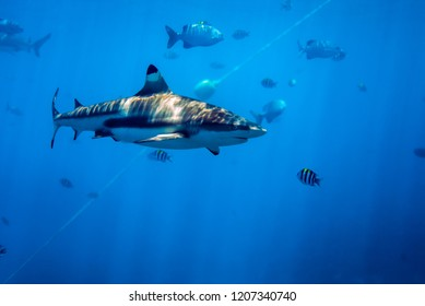 Blacktip reef shark swimming in the blue ocean. The ripples patter of sharks' back is beautiful. Yap island, Micronesia