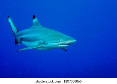 Blacktip reef shark swimming in the blue ocean.  Yap island, Micronesia