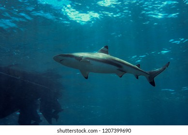 Blacktip reef shark swimming in the bright ocean. Yap, Micronesia
