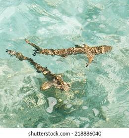 blacktip reef shark swimming in clear water