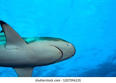 Blacktip reef shark swimming near surface of the sea. Yap, Micronesia