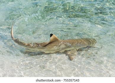 Blacktip reef shark, shark swimming on the shore