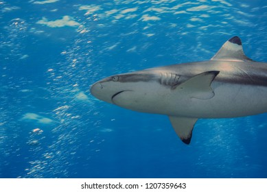 Blacktip reef shark swimming in the  sunshine blue ocean.