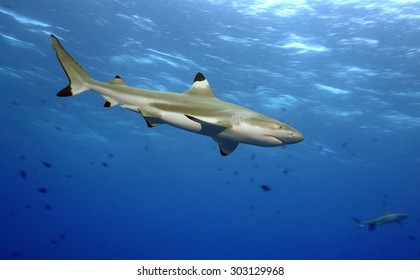 BLACKTIP REEF SHARK SWIMMING IN THE TAHITIAN CLEAR WATER