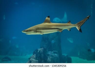Blacktip reef shark swimming in a water