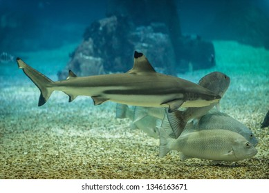 Blacktip reef shark swimming in a water