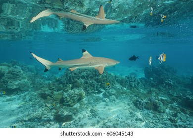 A blacktip reef shark with tropical fish underwater reflected below the calm water surface, south Pacific ocean, French Polynesia