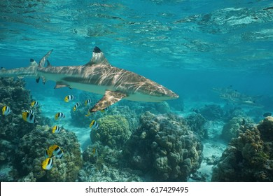 Blacktip reef shark underwater ocean with tropical fish butterflyfish and corals in a lagoon of a south Pacific island in French Polynesia