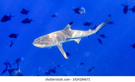 Blacktip reef shark underwater, South Sea