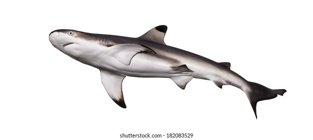 Blacktip reef shark viewed from below, Carcharhinus melanopterus, isolated on white