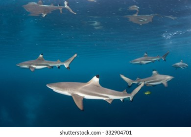Blacktip reef sharks (Carcharhinus melanopterus) swim just under the surface of the tropical western Pacific. This small shark species is a common predator found in the shallows near coral reefs.