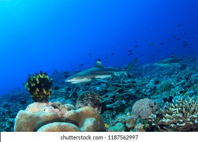 Blacktip Reef Sharks on a coral reef in Indonesia