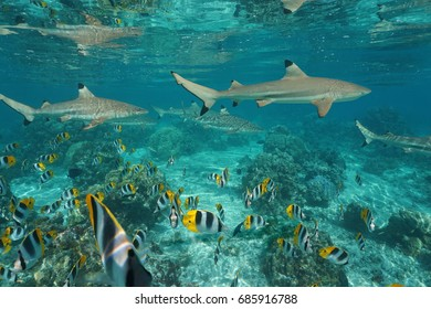 Blacktip reef sharks with a shoal of tropical fish Pacific double-saddle butterflyfish underwater in a lagoon, south Pacific ocean, French Polynesia