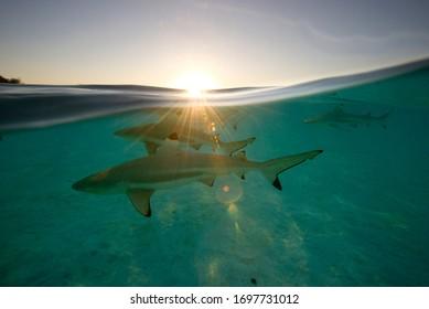 blacktip reef sharks at sunset