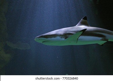 Blacktip reefshark on a close up horizontal picture. A common tropical marine species sometimes bred in aquariums.