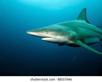 Black-tip shark (Carcharhinus limbatus)