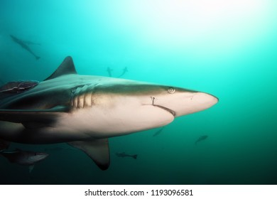 The blacktip shark (Carcharhinus limbatus), portrait in the ocean. Shark with a hook in the corner of the mouth.