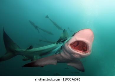 The blacktip shark (Carcharhinus limbatus), portrait in the ocean.