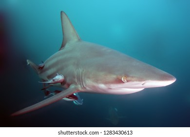 The blacktip shark (Carcharhinus limbatus), portrait in the ocean.