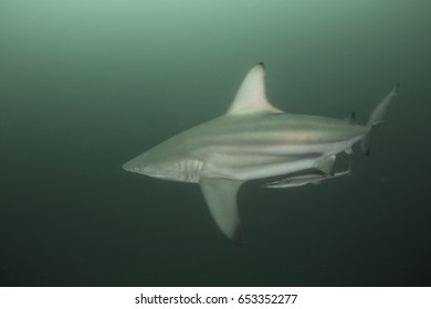 The blacktip shark  (Carcharhinus limbatus) South Africa.