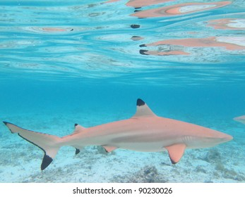 Blacktip Shark in Colorful Lagoon of Bora Bora, French Polynesia from above.
