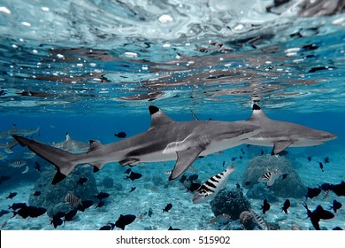 Blacktip sharks in Moorea, French Polynesia