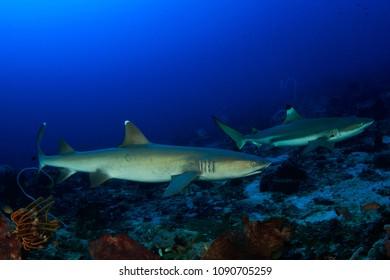 Blacktip and Whitetip Reef Sharks