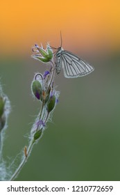 Black-veined moth, Siona lineata resting on wood cranesbill in sunrise a summers day