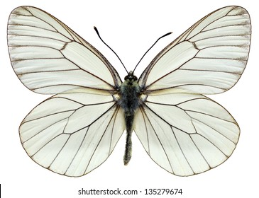 Black-veined White (Aporia crataegi) isolated on white background