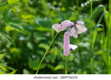Black-veined White butterflies on pink flowers Snakeroot against green blurred background. Aporia crataegi sits on Bistorta officinalis