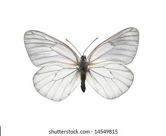 Black-veined White butterfly (Aporia crataegi)
