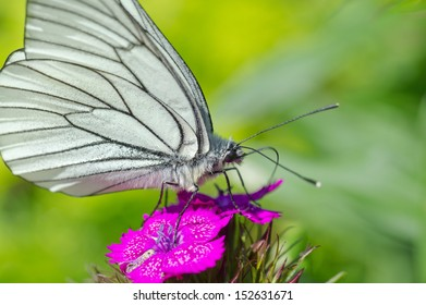 Black-veined white butterfly on a flower.