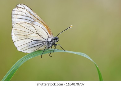 Black-veined white on a plant