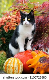 A black-white bicolored cat, European Shorthair, standing on pumpkins as an observation spot and watching curiously the autumnal garden, Germany