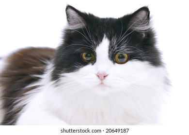 black&white cat isolated on white