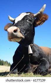 Black-white cow