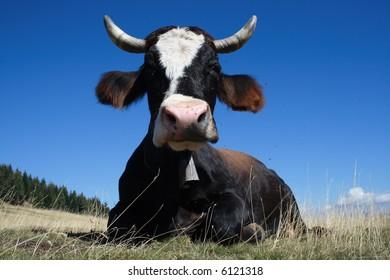 Black-white cow lying on the alp