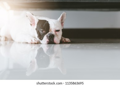 Black-white face french bulldog looking sad  crouched down on the floor under the gray sofa waiting for owner.