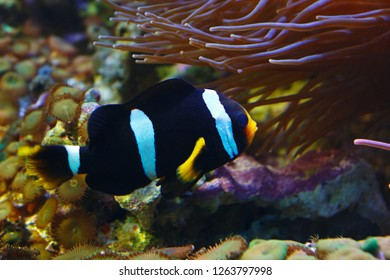 Black-white Ocellaris clownfish (Amphiprion ocellaris), also known as the Clown anemone in their habitat