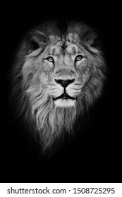 Black-white portrait, isolated black background. Muzzle of a powerful male lion with a beautiful mane close-up.