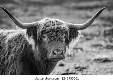 black&white portrait of a scottish highland cattle