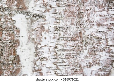 Black-white striped and cracked natural texture of russian birch bark