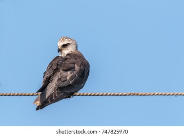 A Black-winged kite perched on a wire